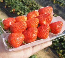 幸せの減農薬イチゴ[2パック]